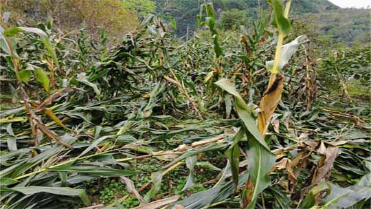 ?#20013;?#38477;雨 甘肃康县玉米倒伏严重