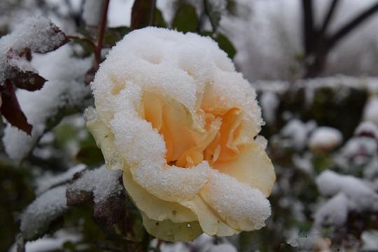 新疆石河子降下半年首场雪  花朵雪中更娇艳