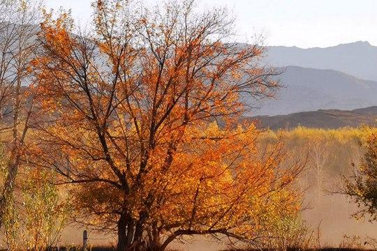 新疆阿勒泰雪后天晴 层林尽染