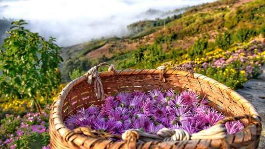 紫菊滿山坡 黃山坡山村秋色正好