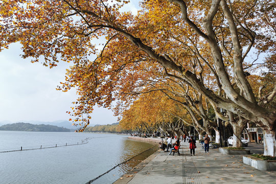 """杭州西湖北山街""""梧桐湾""""秋色撩人"""