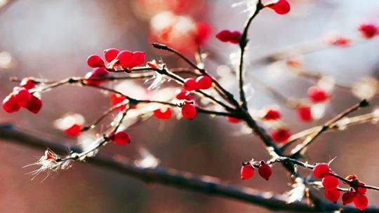 天津冬日暖洋洋 小鸟穿梭忙吃果