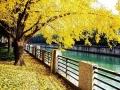 初冬寒意催变色 正是蓉城黄叶时