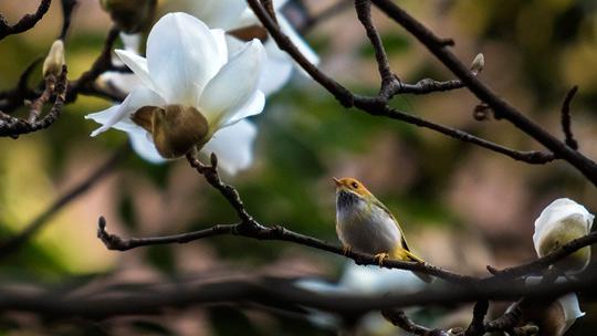 重庆暖阳玉兰花开 鸟儿花中嬉戏