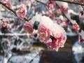 湖北武汉雪后初晴 蓝天下红梅迎雪傲立