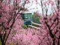 重庆轻轨沿途桃花绽放 列车花丛中驶往春天