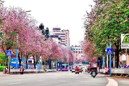 广西柳州春暖花开 紫荆粉云绕满城