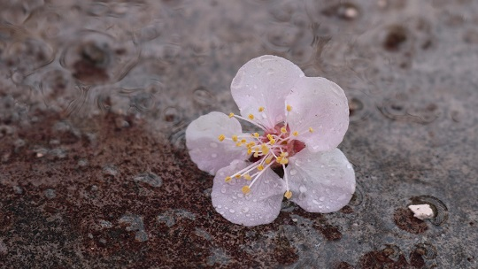 润物细无声 甘肃迭部雨中春花别样美
