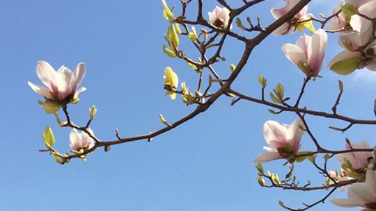 芬芳玉兰沁四月 莫负津城好春光
