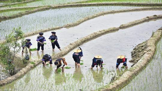 云南红河梯田:春雨过后农民插秧忙
