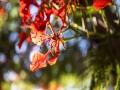 四川攀枝花:鳳凰花如火綻放 帶來視覺盛宴