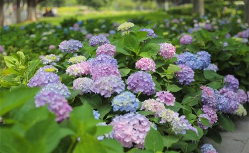 江苏南京绣球盛开 姹紫嫣红花团锦簇