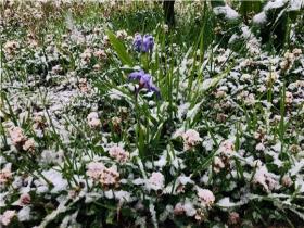 云南德钦5月下旬雪花飘 天寒地冻一片白!