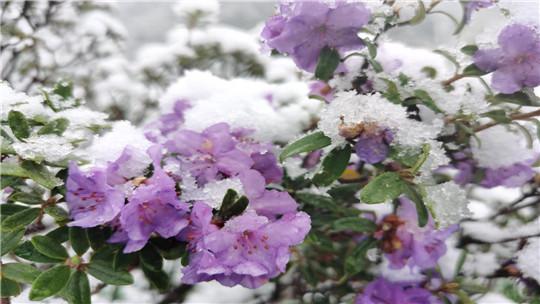 下雪啦!云南香格里拉5月末再飄雪花
