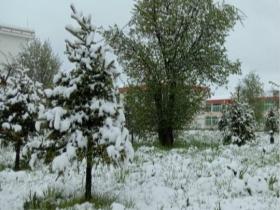 四川红原六月飘雪 绿树嫩草一片白