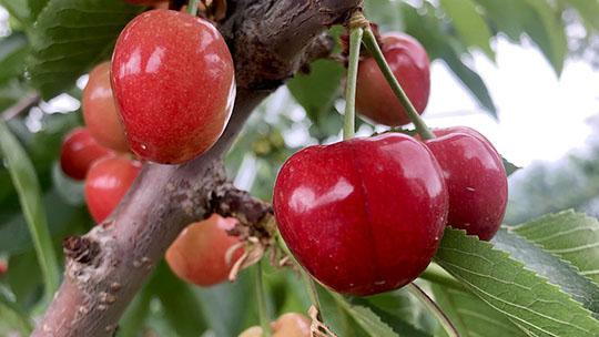 青海樂都大櫻桃成熟 顆顆飽滿嬌艷欲滴