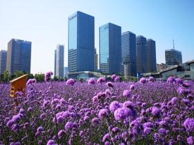 天津马鞭草进入盛花期 呈现梦幻紫色花海