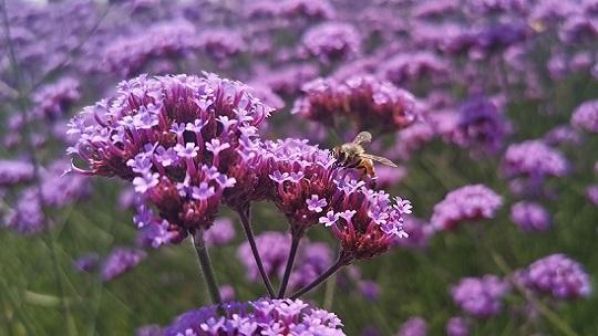 甘肃康乐马鞭草盛放 浪漫的紫色花海