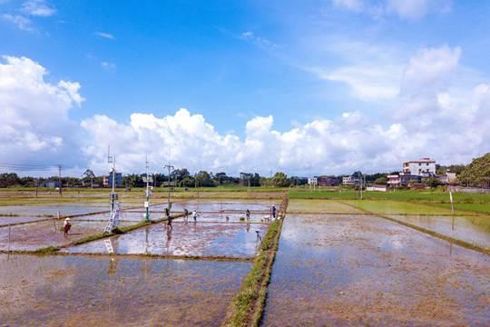广西钦州:农友抢晴插秧忙