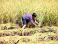 重庆黔江:贡米成熟飘稻香 农民抓准时机抢收