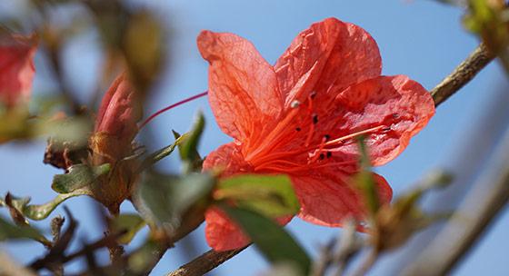 贵州黎平暖风吹得杜鹃开 错把秋天当春天