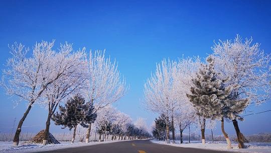 甘肃镇原县洁白雾凇高高挂 犹如千树万树梨花开