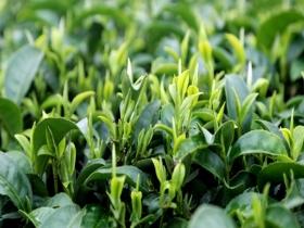 广西象州:古琶茶飘香 茶农采茶忙