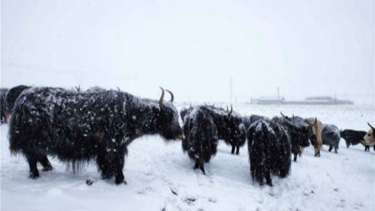 三月四川红原白雪飘飘 牦牛雪中缓行