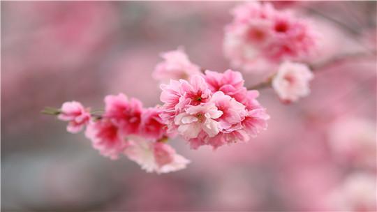 """春光""""樱""""你而来 云南昆明樱花季开启"""