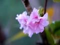 广西河池四月繁花盛开 雨中赏花别有风味