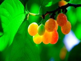 贵州贵阳:阳光催红樱桃 令人垂涎欲滴