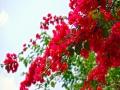 重庆街头三角梅绚烂盛放 演绎最美五月天