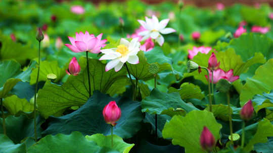 赏荷正当时 四川华蓥莲叶如翠花朵娉婷