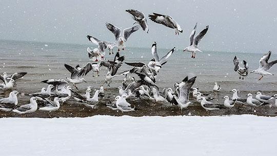 青海小柴旦湖降雪 雪中海鸥翩翩