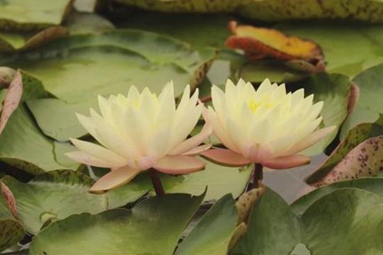 15秒带你速览睡莲开花全过程