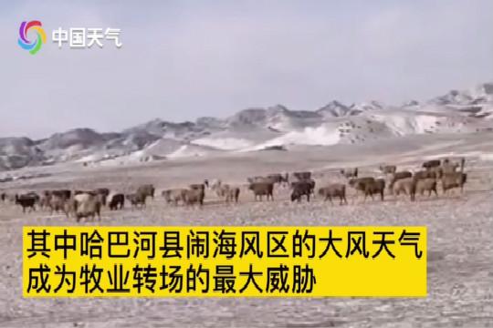 新疆阿勒泰牧业转场 闹海风区6-7级东风威胁大