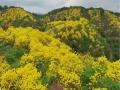 """广州从化:花开满山尽带""""黄金甲"""""""