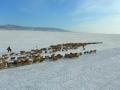 新疆哈巴河县冬季转场工作顺利结束