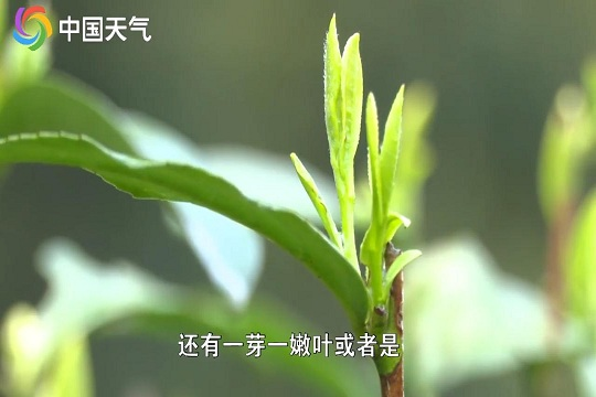 清明见芽 谷雨见茶 撩人不过谷雨茶?