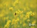 中国天气网广西站讯 近日,柳州市雀儿山公园引进种植的速生油菜花竞相绽放,宛如一片金色的海洋。4日,不少游客趁着周末前往观赏。(图文/韦莉)