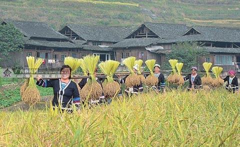 金秋时节糯米丰收,脱粒后的糯稻秆成为草龙主要的原材料。