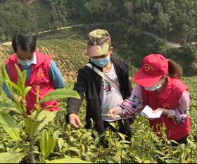 【视频】昭平直通式气象服务护航春茶生产
