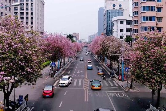 【视频】柳州:一城紫荆 十里春风