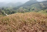 【视频】崇左旱情严重 甘蔗枯黄受灾严重