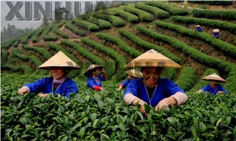 广西三江侗族自治县八江乡布央村的妇女正在采摘茶叶-天气利于三江图片