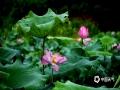 中国天气网广西站讯 7月8-9日,蒙山遭受大雨袭击。10日,蒙山迎来了多云天气,夏荷也借助好天气尽情的盛开,让夏日瞬间变得清凉起来。(文/马宇翔 图/张敏)