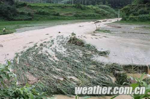 巴马县所略乡稻田被淹