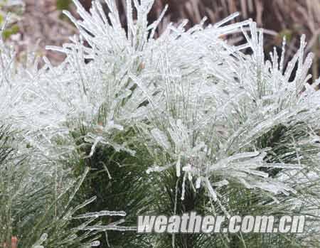 草木上结了厚厚的冰棱(摄影.jpg