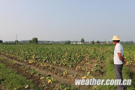 17日,记者在钟山镇程石村看到了大片发黄枯萎的烟田.
