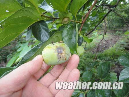 柿子炭疽病是柿树最严重的病害之一